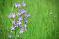 Violet bell flower in green meadow springtime Royalty Free Stock Photography
