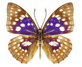 Violet butterfly Royalty Free Stock Photography