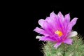 Violet Cactus Flower Stock Photography