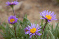 Violet camomiles (the Alpine aster) Royalty Free Stock Photography