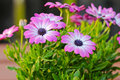 Violet Cape daisy with purple center Royalty Free Stock Photo