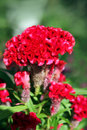 Violet Celosia Flower Stock Photo