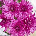 Violet chrysanthemums closeup romantic background Stock Photos