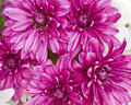 Violet chrysanthemums closeup romantic background Royalty Free Stock Images