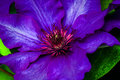 Violet clematis flower in a garden Royalty Free Stock Image