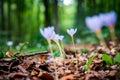 Violet Colchicum Autumnale Aut...