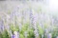 Violet Color Flower Fields