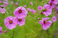 Violet cosmos flowers Royalty Free Stock Photography