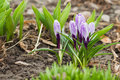 Violet crocus on the flowerbed, soft focus background Royalty Free Stock Photo