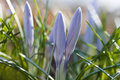 Violet crocus flowers with green leaves. Tender blue petals saffron, soft focus, ground view. Shallow depth of field Royalty Free Stock Photo