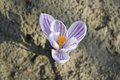 Violet crocus top view of a Stock Images
