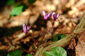 Violet Cyclamen flowers Royalty Free Stock Photo