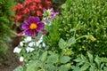 Violet Dahlia in a Garden Royalty Free Stock Photo