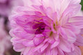 Violet dahlia macro Royalty Free Stock Photo