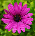Violet daisy Royalty Free Stock Photos