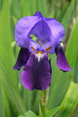 Violet dwarf iris Royalty Free Stock Photography