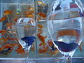Violet fighter fish in a wine glass Royalty Free Stock Photo