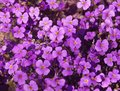 Violet flower back full frame background with colored flowers seen from above Stock Photography