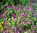 Violet flower bed texture bush with hot flowers for floral textures or landscape backgrounds Stock Images