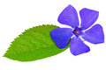 Violet flower on green leaf .Closeup on white background. Royalty Free Stock Photo