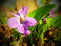 Violet flower in the grove Royalty Free Stock Images