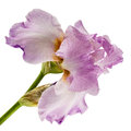 Violet flower of iris, isolated on white background Royalty Free Stock Photo