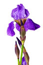 Violet flower iris Royalty Free Stock Photo