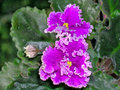 Violet flower saintpaulias commonly known as african violets are a genus of – species of herbaceous perennial flowering plants Royalty Free Stock Photo