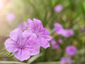 Violet flower spring time with sunlight Royalty Free Stock Photo