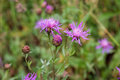 Violet flower of wild thistle carduus with blurred background Stock Image