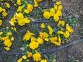 Violet flower yellow wisteria aka wistaria or wysteria flowers Stock Photos