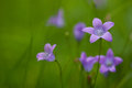 Violet flowers on green background Royalty Free Stock Photo