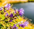 Violet flowersin mountains