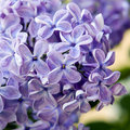 Violet flowers of lilac Royalty Free Stock Images