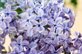 Violet flowers of lilac Royalty Free Stock Image