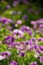 Violet flowers many little color Stock Images