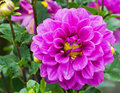 Violet garden dahlia close up of beautiful flower with raindrops hybrid compositae Stock Images