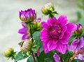 Violet garden dahlia close up of beautiful flower with raindrops hybrid compositae Royalty Free Stock Image