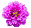 Violet garden dahlia close up of beautiful flower with raindrops isolated on white background hybrid compositae Stock Photography