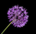 Violet garlic flower on a black background Stock Images