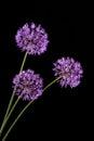Violet garlic flowers on a black background Stock Photo