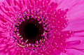 Violet Gerbera Flower Close-up Macro Royalty Free Stock Photo