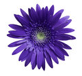 flower Violet gerbera on white isolated background with clipping path. Closeup. no shadows. For design. Royalty Free Stock Photo