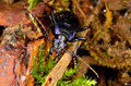 Violet ground beetle large black with metallic sheen nocturnal hunter of small pest insects shown amongst moss and Stock Photography