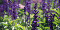 Violet Growing Sage - toned image. Autumn Flowerbed. Royalty Free Stock Photo