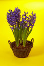Violet hyacinth Stock Photos