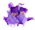 Violet iris Royalty Free Stock Photo