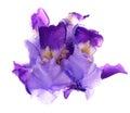 Violet iris Royalty Free Stock Photo