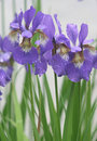 Violet iris flowers in park Royalty Free Stock Photo