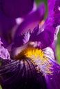 Violet Iris in the Springtime Royalty Free Stock Photo